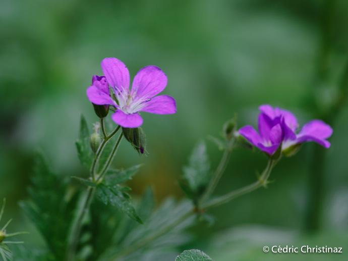 geranium-des-bois